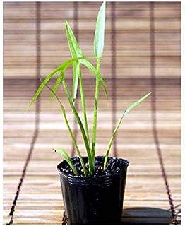 (ビオトープ)水辺植物 オモダカ(1ポット) 抽水植物 (休眠株)