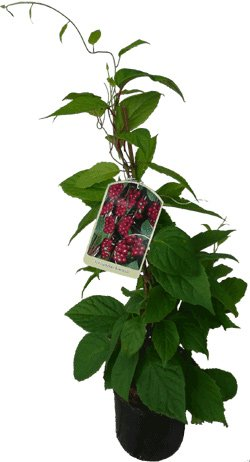 Wu-Wei-Zi Beere Schisandra chinensis Pflanze