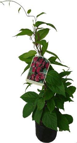 4 x Wu-Wei-Zi Beere Schisandra chinensis Pflanze - selbstfruchtbare Kultursorte