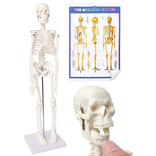Mini Human Skeleton Model for Anatomy, 17.7'' Full Body Human Skeleton Model with Movable Arms and Legs on Plastic Base for Medical Teaching Learning, Kids Learning Education Display Tool Gift