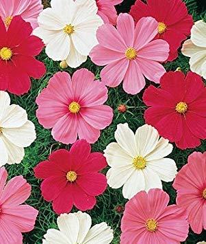 Rosa Box Blumensamen Kosmos rot Mix Blumensamen für Shaded Blumensamen für bã ¼ ro Garten (18 Packets) - von