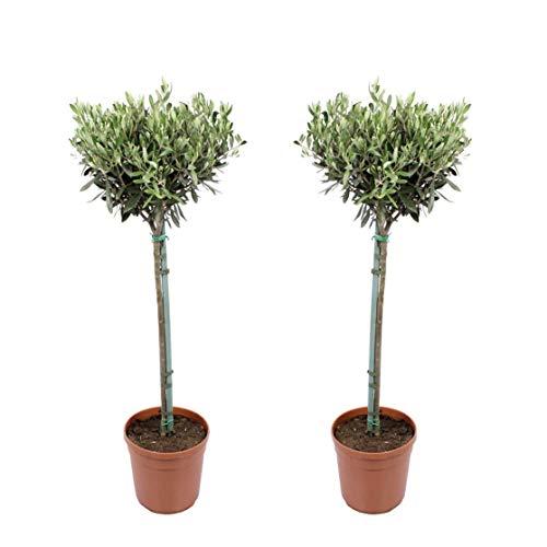 Plantas de interior de Botanicly – 2 × Olivo – Altura: 90 cm – Olea europeae