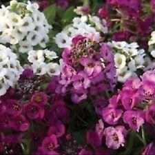 50+ Crystal Clear Mix Alysse/réensemencement Graines de fleurs annuelles