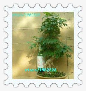 Seifu Graines Bonsai graines 50pcs / lot métaséquoia Bonsai Tree Grove - Metasequoia glyptostroboides, maison jardinage bricolage!