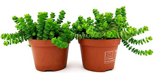 Crassula HOTTENTOT Halskette Jade 2 Pflanzen Topf 11cm echte Pflanzen