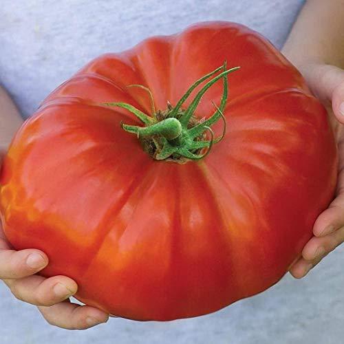 ADOLENB Seed House - Orgánico Gigante-Buey-corazón-semillas Semilla Carne Tomate Semillas Vegetal Fruta Semillas De alto rendimiento perenne resistente para jardín Balcón/Terraza