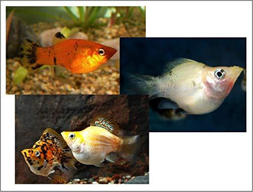 【熱帯魚・卵胎生メダカ】 ミックスバルーンモーリー ■サイズ:Mサイズ (5匹)