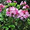 CSNCH Mountain Laurel Bush Seeds (Kalmia Latifolia) 200+Seeds #2