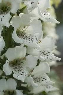 Digitalis (Foxglove) purpurea Candy Mountain White 1,000 seeds
