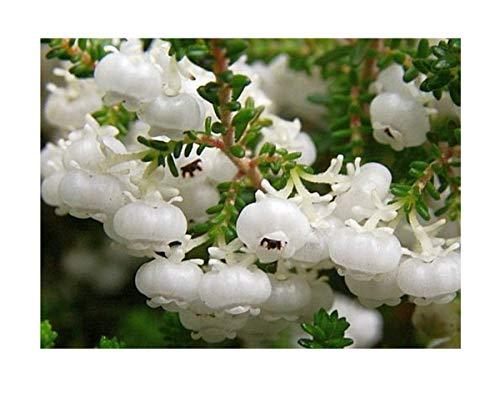 Stk - 15x Erica formosa Heidekraut Zimmer Garten Pflanzen - Samen B1430 - Seeds Plants Shop Samenbank Pfullingen Patrik Ipsa