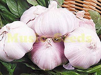 Vistaric 100 PZ Graines d'ail Violet graines de bonsaï sains Graines de légumes Verts Plante Décoration Maison et Jardin