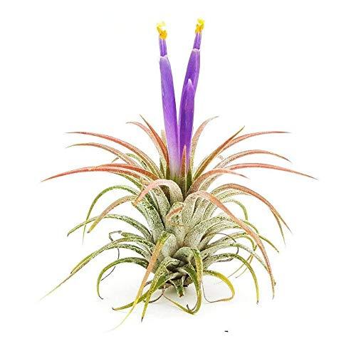 The Drunken Gnome AIR Plants – IONANTHA Small – 3 Pack - air Purifying Flowering Tillandsia for Terrarium, Fairy...