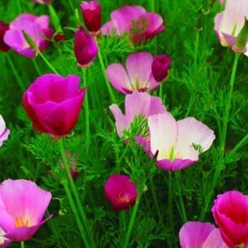 Outsidepride Poppy - California Purple Gleam