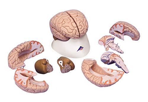 3B Scientific Menschliche Anatomie - Gehirnmodell, 8-teilig + kostenloser Anatomiesoftware - 3B Smart Anatomy, C17