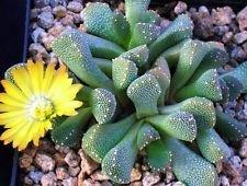 Aloinopsis luckhoffii, Rare lebenden Gesteins Mesems Fels Pflanze Eis Samen 100 Samen