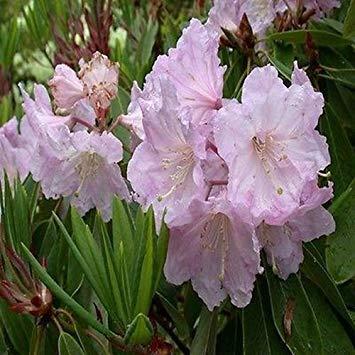 VISA STORE 50 Samen Rhododendron Fortunei Seeds (Rhododendron Fortunei)