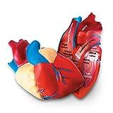 Learning Resources- Modelo del corazón Humano con sección Transversal, Color (LER1902)...