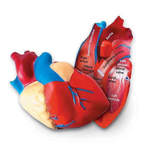 Learning Resources LER1902 skummodell mänskligt hjärta i tvärsnittsvy