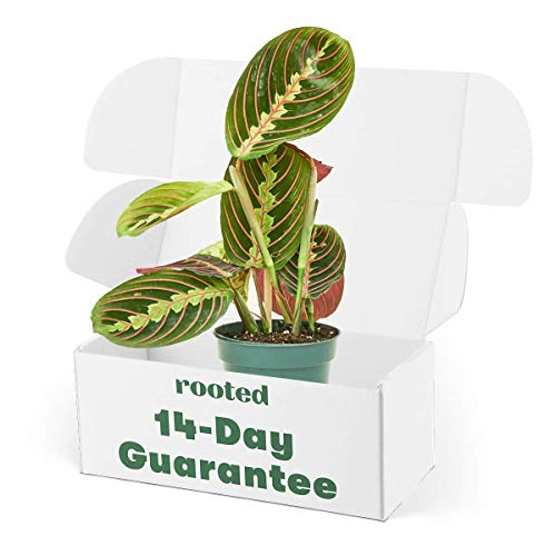 Rooted Red Prayer Plant - Maranta leuconeura | Live, Easy to Grow, and Low Maintenance Houseplant (4-inch Pot)