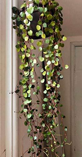 "SmartMe Peperomia Ruby Cascade Succulent Plant 2"" Pot - e2"