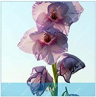GEOPONICS Semillas: ZLKING 1 PC 15 tipos de bulbo gladiolo flor no Gladiolo fresco de alta germinación Tasa fácil de cultivar orquídeas Bonsai: 14