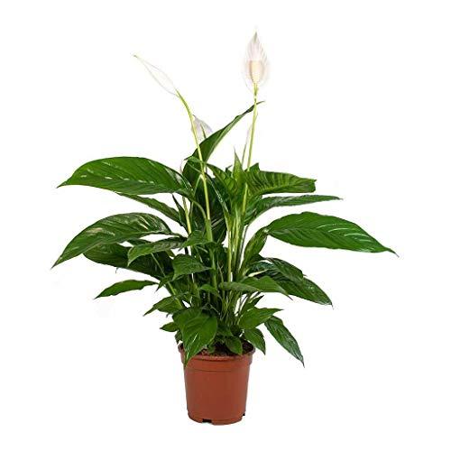Spathiphyllum Planta de Interior Natural Altura 35cm Lirio de la Paz Espatifilo Planta con Flor Blanca