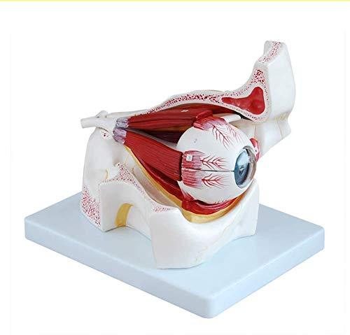 YLLN Anatomischer Augapfel mit Orbitalvergrößerung Modellmodell Augapfel Der Sehnerv und die Muskeln sind ideal für die Anzeige von Schulmedizin-/Anatomiestudien