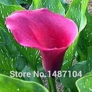50pcs cala - Zantedeschia aethiopica semillas de flores (No Bulbos) de color caqui oscuro