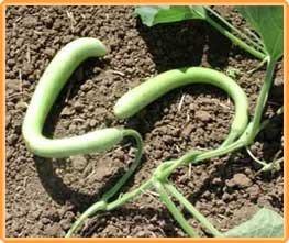 Bobby-Seeds Kürbissamen Snake 50 Korn