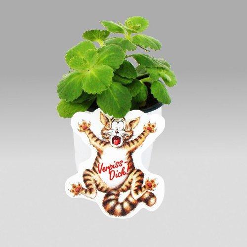 Exotenherz - Coleus canin - Verpiss-Dich - Pflanze - 8 Pflanzen