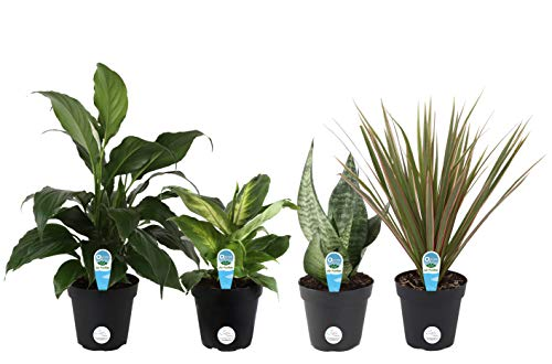 Costa Farms Clean Air-O2 For You Live House Plant Collection 4-Pack, Assorted Foliage, 4-Inch, Green