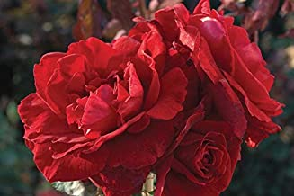 1 Don Juan Climbing Rose Plant Potted Red Fragrant Flowers Rose Own Root