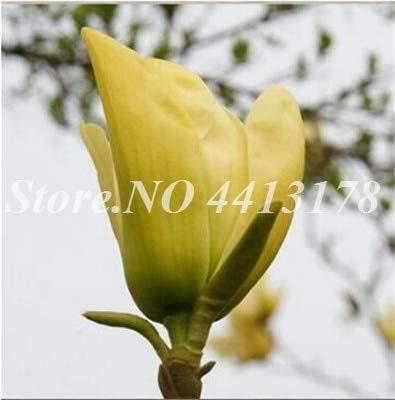 RETS 10 PC/Beutel Misch Magnolia subtropische Garten-Blumen-Bonsai Anlage für Outdoor, Small, Medium und Large Size Gartenpflanzen: 4