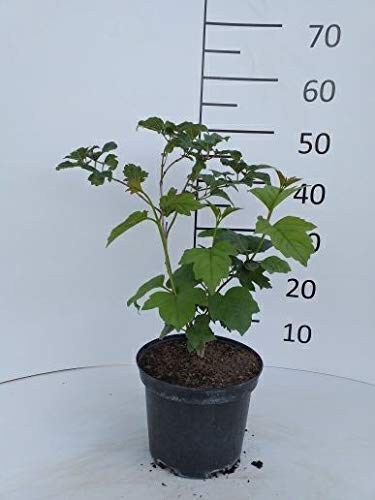 Späth Gemeiner Schneeball LH 60-80 cm im 7,5 Liter Topf Heckenpflanze winterhart Zierstrauch Fruchtschmuck 1 Pflanze