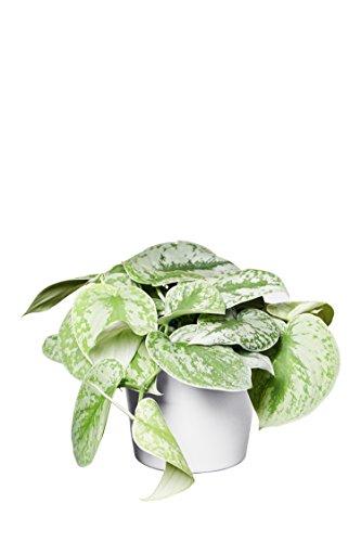 EVRGREEN | Gefleckte Efeutute als Zimmerpflanze in Hydrokultur mit weißem Topf als Set | Scindapsus pictus Monstrosus