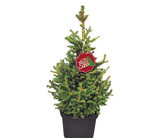Dehner Zwerg-Fichte Little Santa®, im Topf gewachsen, harziger Duft, ca. 60-70 cm, 5 l Topf, Weihnachtsbaum