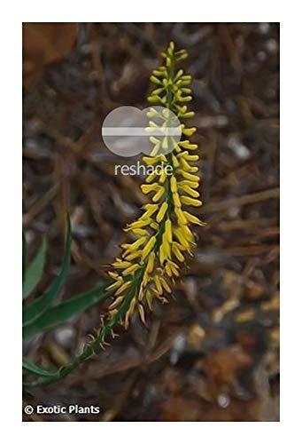 Aloe barberae - Aloe arbre géant - 5 graines