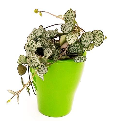 Vela Woodi en jarrón de cerámica verde, collar de corazones, planta de interior, planta auténtica