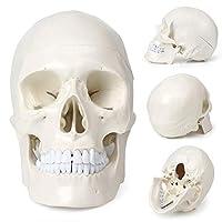 Mallofusa ライフサイズ 頭蓋骨モデル 歯付き 人間の頭部 模型 解剖学 医療教授 医師 医学生 に適用