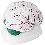 WGFGXQ Anatomie des menschlichen Gehirns Modell 3 Teile Zerebrovaskuläres Modell Medizinisches Lehrmodell Medizinische Forschung