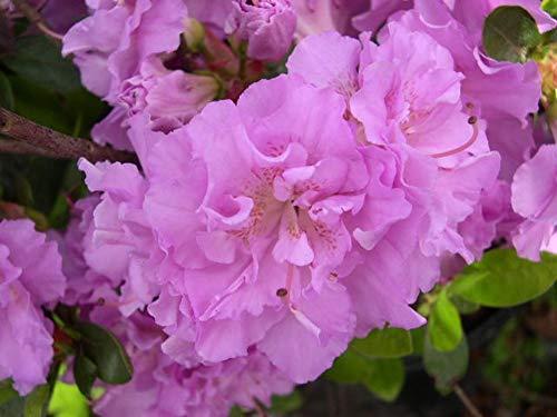 Azalea Japonica Elsie Lee Pflanze in 9 cm Töpfen