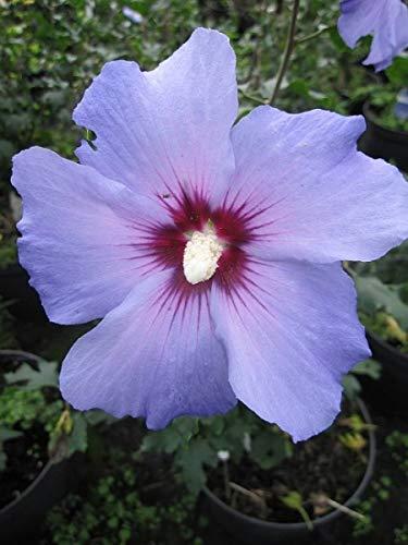 Garten Eibisch Blue Bird - Hibiscus syriacus Blue Bird (40-60)