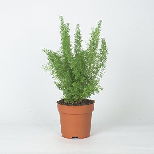 Inter Flower - 3x Asparagus densiflorus Sperengeri 25cm +/- 12cm Topf - Zierspargel oder Federspargel, Spargelgewächs, immergrün, pflegeleicht