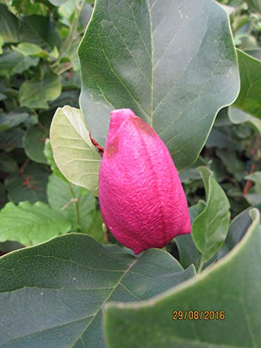 Magnolia March Till Frost - Tulpenmagnolie March Till Frost
