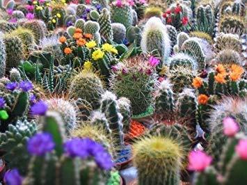 Potseed 50 Finest Mixed-Kaktus-Blumensamen Garten, Rasen, Versorgung, Wartung