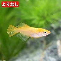 (めだか)よりなし(無選別)東天光メダカ/楊貴妃ヒカリメダカ(3匹)