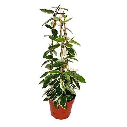 Hoya carnosa - Porcelain flower - Wax flower - 17cm Pyramid