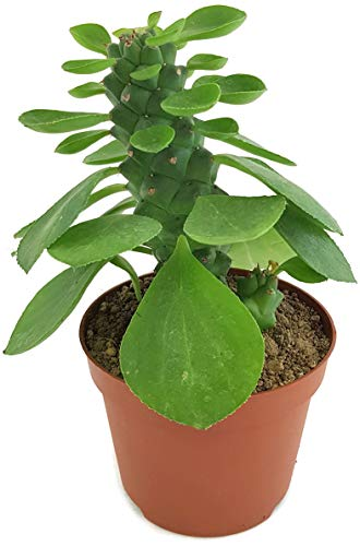 Fangblatt - Monadenium ritchiei - außergewöhnliche Sukkulente - pflegeleicht Zimmerpflanze im 12cm Pflanztopf