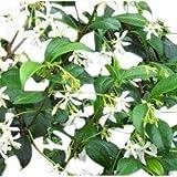 Trachelospermum Jasminoides - Star Jasmine- Climbing Plant Approx 120cm Tall.