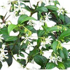 Trachelospermum jasminoides - Faux jasmin - Plante grimpante, hauteur environ 1 m.